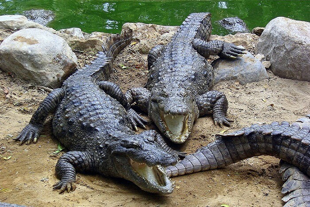 Amo Chhu Crocodile Breeding Center Phuentsholing