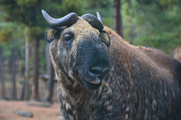 Takin – National Animal of Bhutan