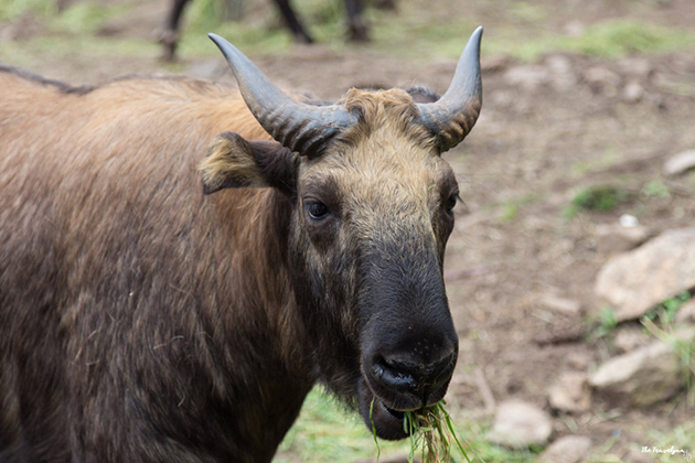 Takin - National Animal of Bhutan