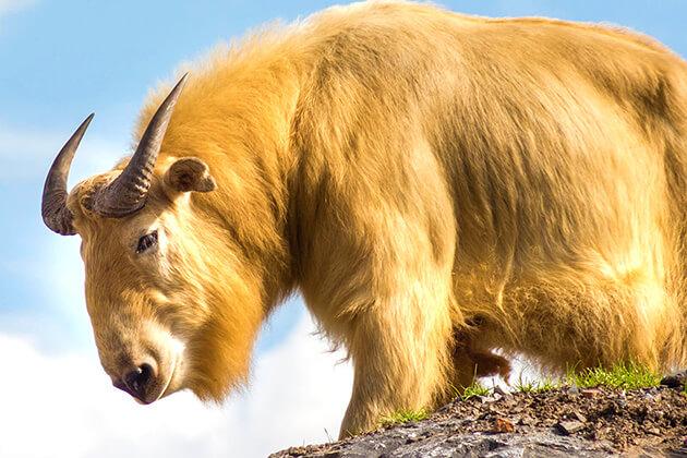 The Legend of Takin - National Animal in Bhutan - Copy