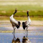 black necked crane - bhutan bird watching trip