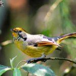 Abbott's Babbler - birding itinerary in bhutan