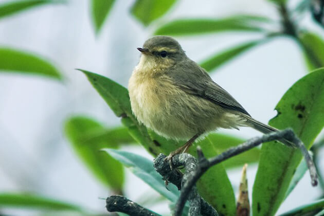 Aberrant Bush Warbler - bhutan birding tours