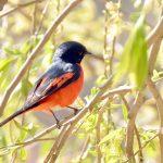 Black-throated Yuhina - bhutan birding tour
