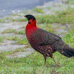 Brown Parrotbill - bhutan birding itinerary