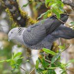 Himalayan Griffon - bhutan birding