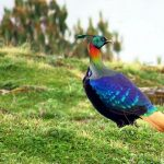 Himalayan Monal - birding tour in bhutan