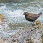 Ibisbill - bhutan birding tours