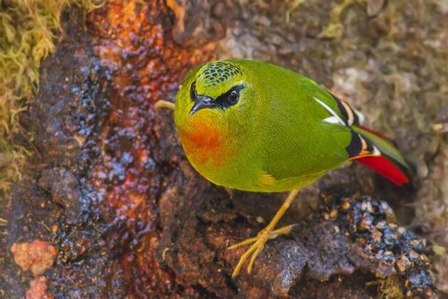 Kalij Pheasant - Bhutan birding tours