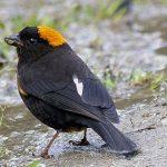 Little Bunting - bhutan birds