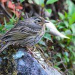 Satyr Tragopan - bhutan bird species