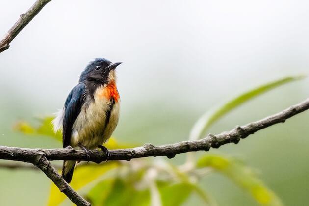 Scarlet Finch - birding places in bhutan