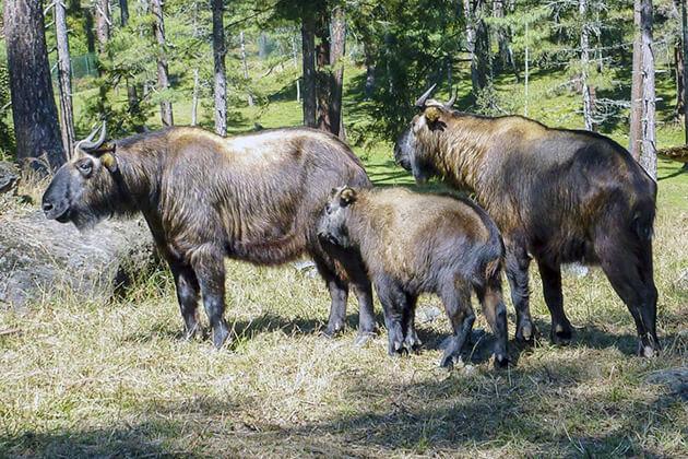 Takin - bhutan national animal