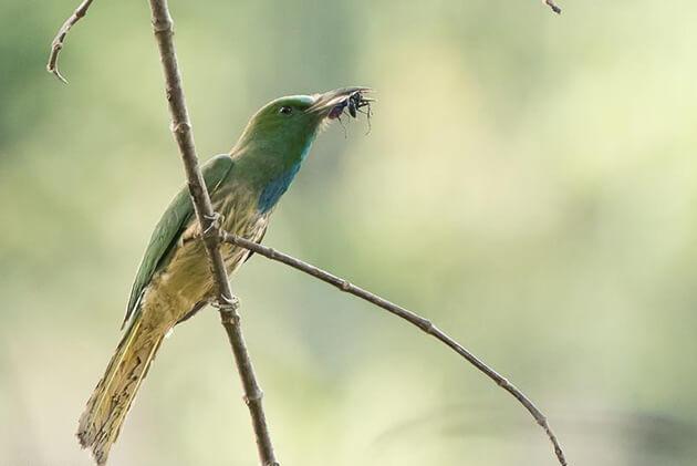 White-throated Needletail - birds in bhutan