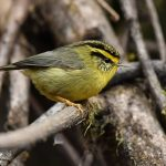 Yellow-throated Fulvetta - birding trip in bhutan