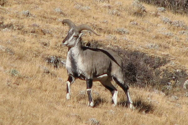 blue sheep - wild animal in bhutan