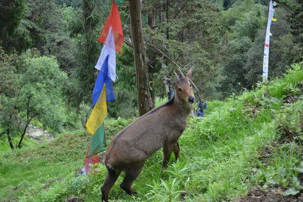 goral - bhutan environmental problems