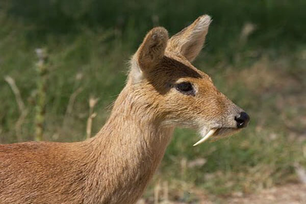 musk_deer - bhutan wild animal