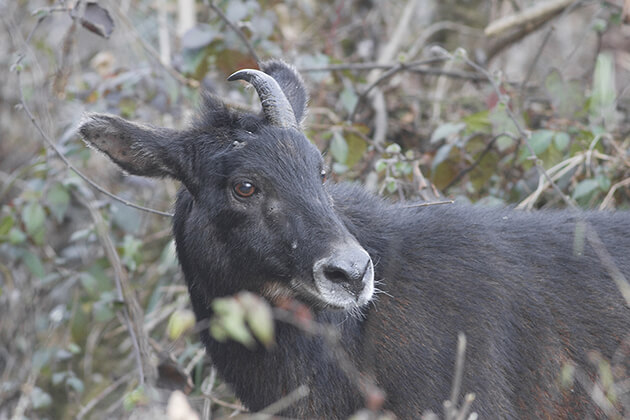serow - wild animal in bhuta