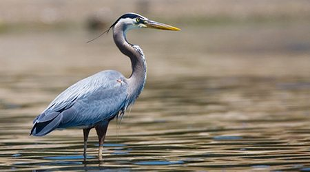 White-Bellied Heron Tour – 15 Days