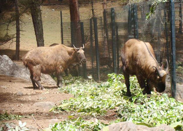 motithang takin preserve - thimphu famous places